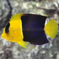 Products tagged with Bicolor angelfish