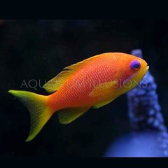 Products tagged with Anthias fish