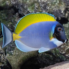 Products tagged with how big do powder blue tangs get