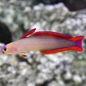 Firefish Purple