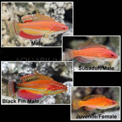 Products tagged with colourfull saltwater fish