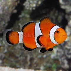 Products tagged with common clownfish