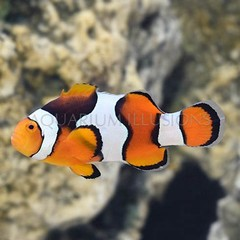 Products tagged with fish that host in anemones