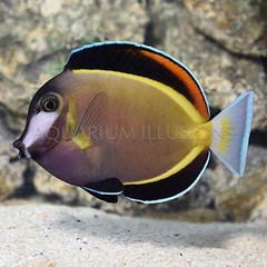 Products tagged with brown tangs