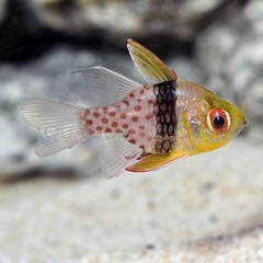 Products tagged with cardinal fish