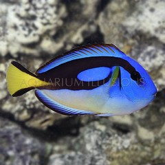 Products tagged with bright blue fish
