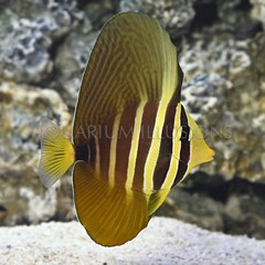 Products tagged with black and yellow saltwater fish