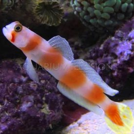 Sun Tail Goby