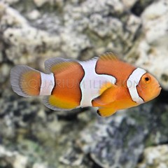 Products tagged with Clown Anemonefish