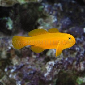 Yellow Clown Goby, Okinawae