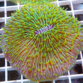 Fungia Coral, Australia Tiny