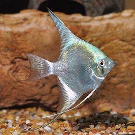 Freshwater Blue Angelfish