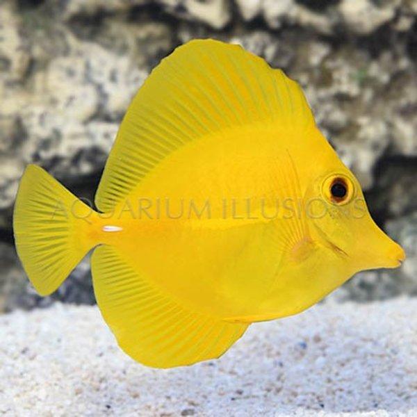 Yellow Tang - Hawaii