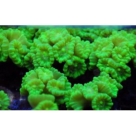 Candy Cane Coral, Green Kryptonite