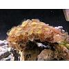 "Palythoa ""Danger Coral"" Colony"