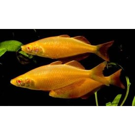 Albino Orange Millennium Rainbowfish