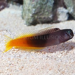 Products tagged with how big do bicolor blennys get