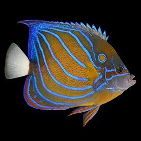 "Annularis Angelfish 6-7"""