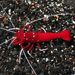 Products tagged with how big do blood red fire shrimp get]