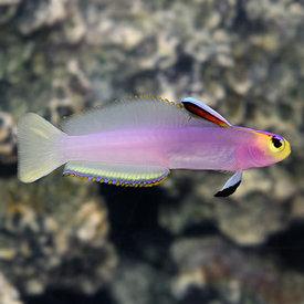 Helfrich's Firefish