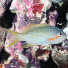 Products tagged with hitchi anthias fish