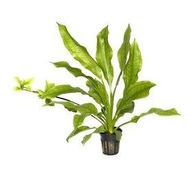 """Tropica Echinodorus bleherae potted 4-6"""""""