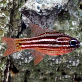 Ochre Striped Cardinalfish