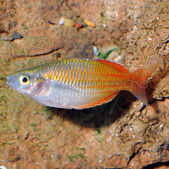 Products tagged with how big do bosemani rainbow fish get