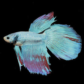 Dragon Scale Betta