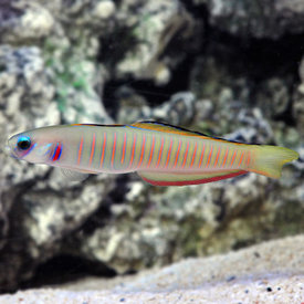 Zebra Barred Dartfish
