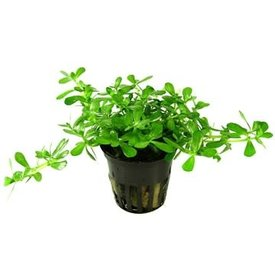"Tropica Bacopa ""Compact"" potted 2-3"""