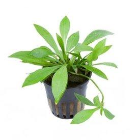 """Tropica Helanthium Quadricostatus 2-3"""""""