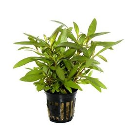 """Tropica Hygrophila compact potted 5-6"""""""