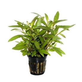 "Tropica Hygrophila corymbosa potted 5-6"""