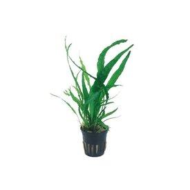 "Tropica Microsorum pteropus trident potted 2-3"""