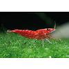 Super Red Crystal Shrimp