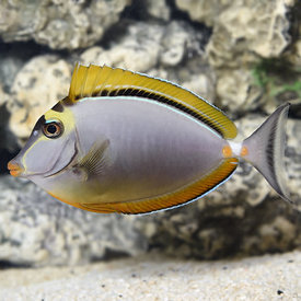 Blonde Naso Tang - Small