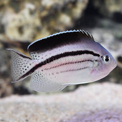 Products tagged with angel fish that are reef safe
