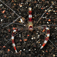 Products tagged with how big does a coral banded shrimp get