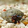 Blue Leg Hermit Crab