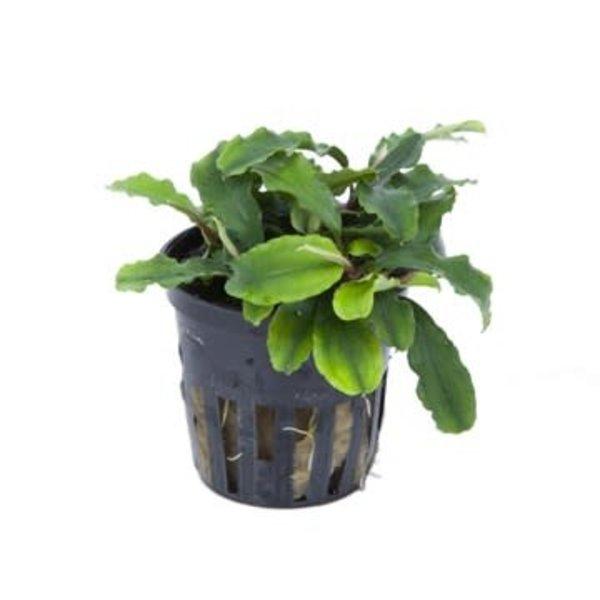 """Tropica Bucephalandra 'Wavy Green' 2-3"""" potted"""