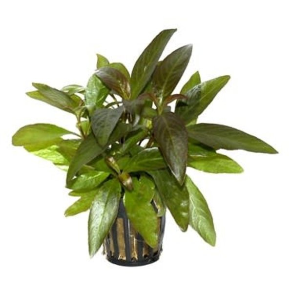 """Tropica Hygrophila 'Siamensis' 2-3"""" potted"""