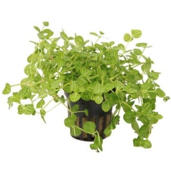 "Tropica Lindernia rotundifolia 3-5"" potted"