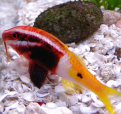 Products tagged with biocolor fish