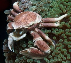 Products tagged with anemone crabs