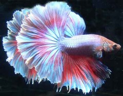 Products tagged with halfmoon betta fish at aquarium illusions