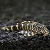 Candy Stripe Plecostomus