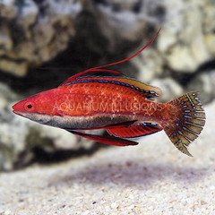 Products tagged with how big do wrasse fish get