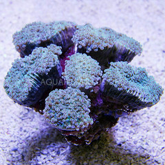 Products tagged with frogspawn coral