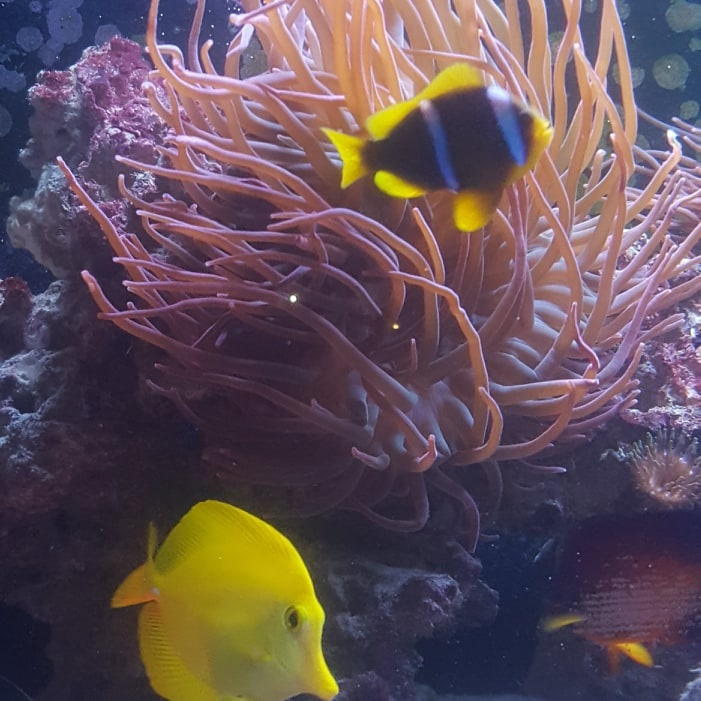 Do all Clownfish host to Anemones?